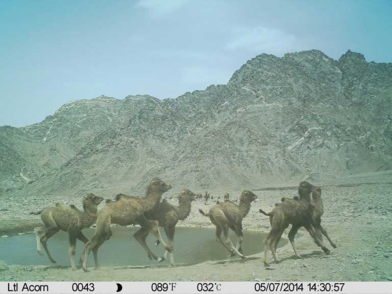 a-group-of-young-wild-camel-calves-frisking-around-a-water-hole-768x576
